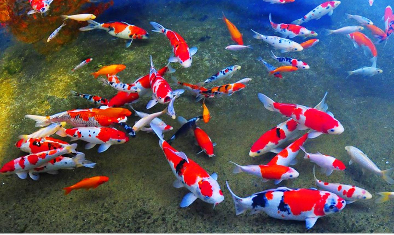 Hồ cá chép Koi