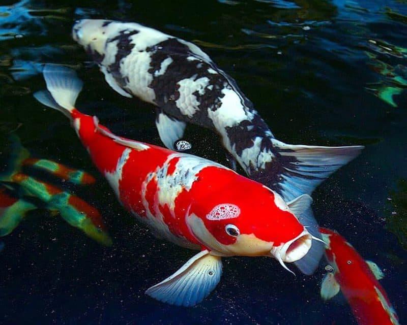 Hồ cá Koi đẹp nhất