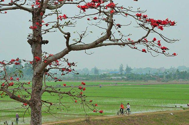 Hoa Gạo tháng 3 nở rộ đẹp