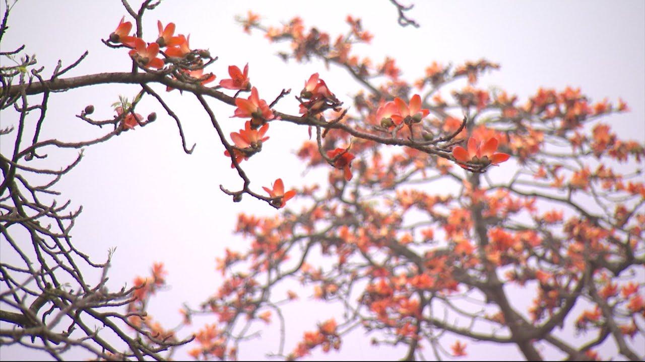 Hoa Gạo tháng 3