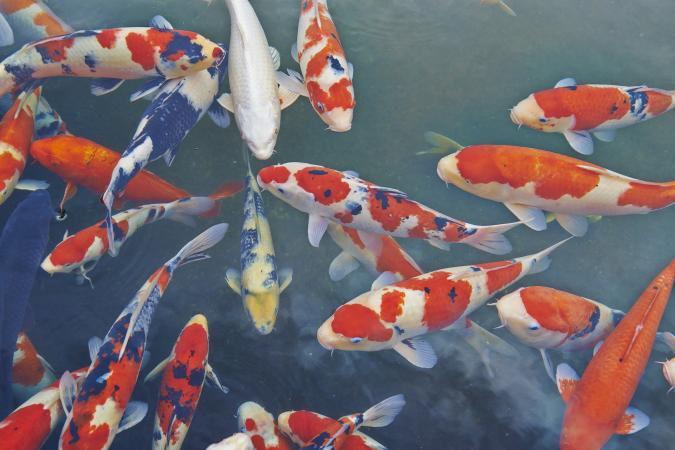 Koi fish Japanese