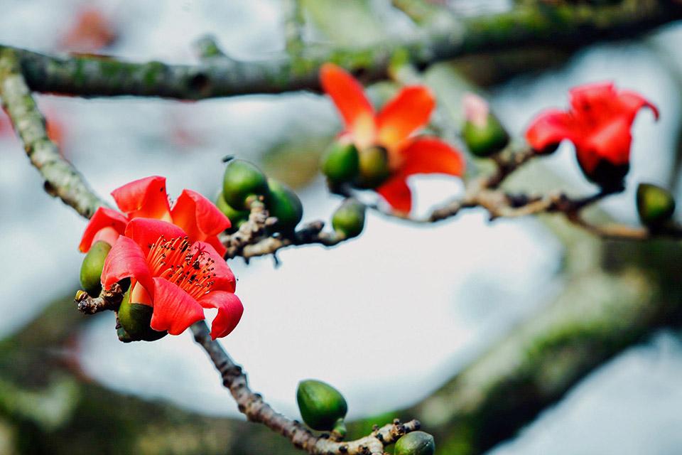 Mùa hoa Gạo tháng 3 đẹp