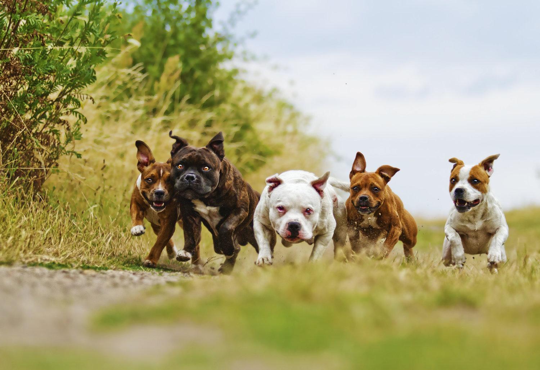 Những hình ảnh con chó Pitbull đẹp