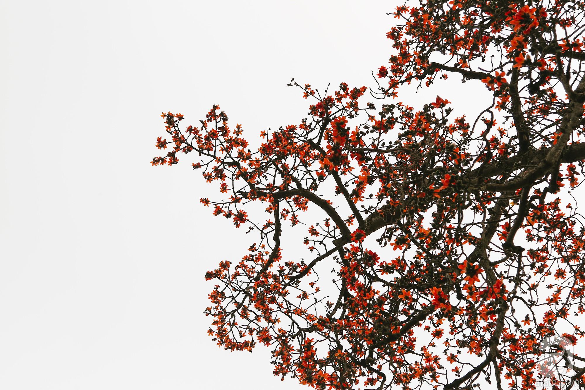 Tổng hợp hình ảnh hoa Gạo đẹp nhất