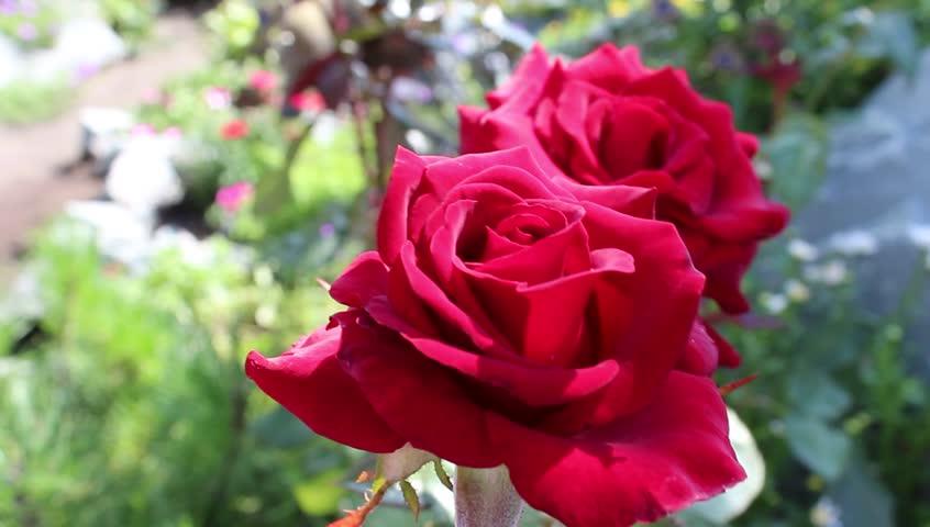 Ảnh bó hoa hồng đỏ đẹp