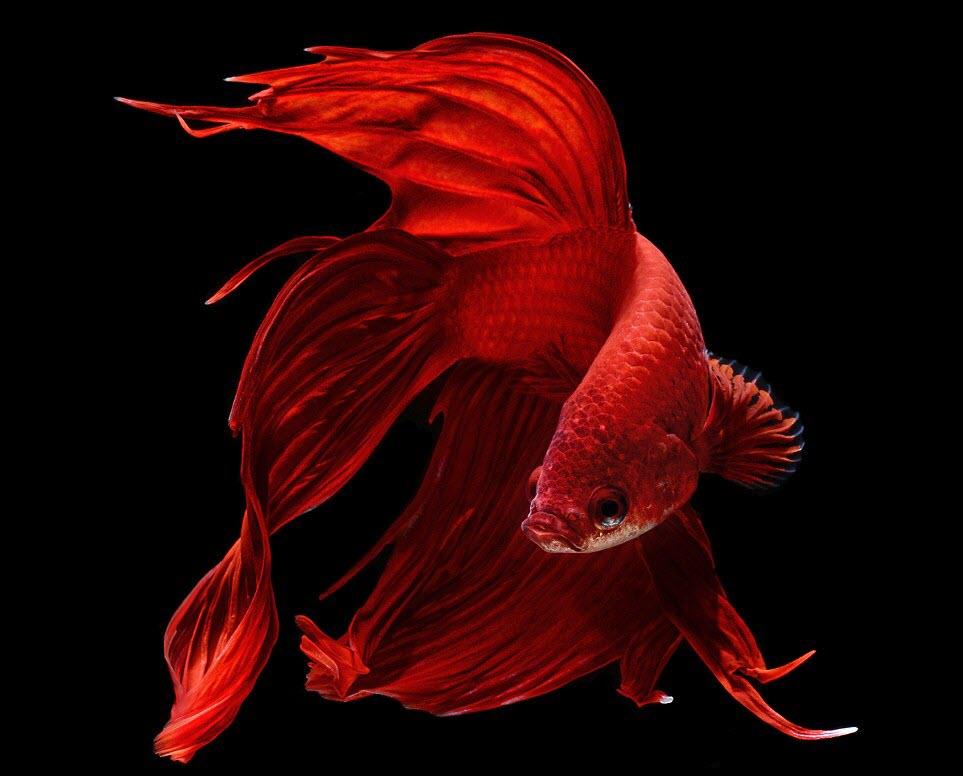 Ảnh cá chọi màu đỏ đẹp nhất