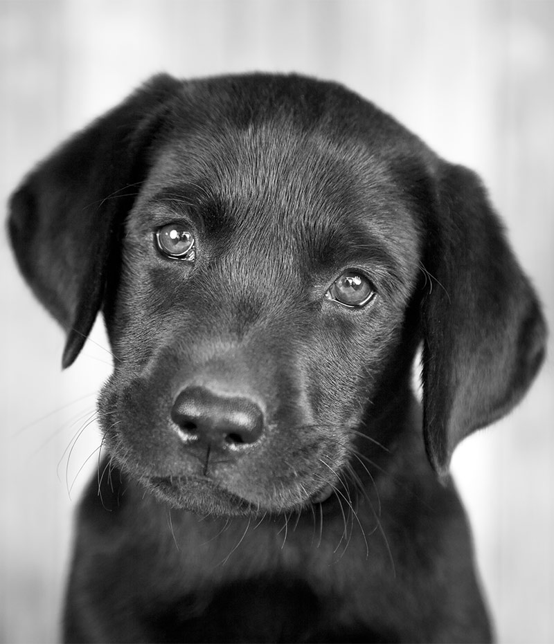 Ảnh chó mực đẹp