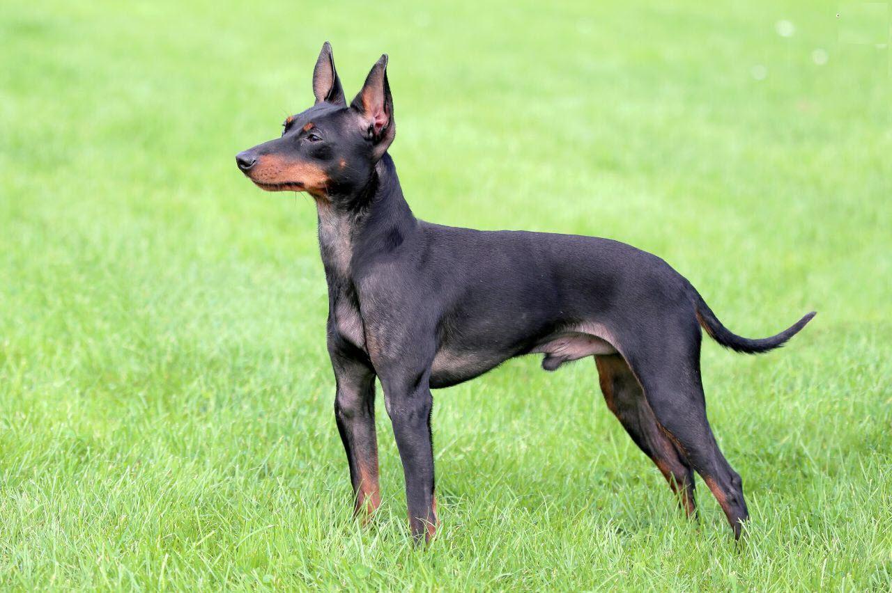 Ảnh chó Phốc đẹp nhất