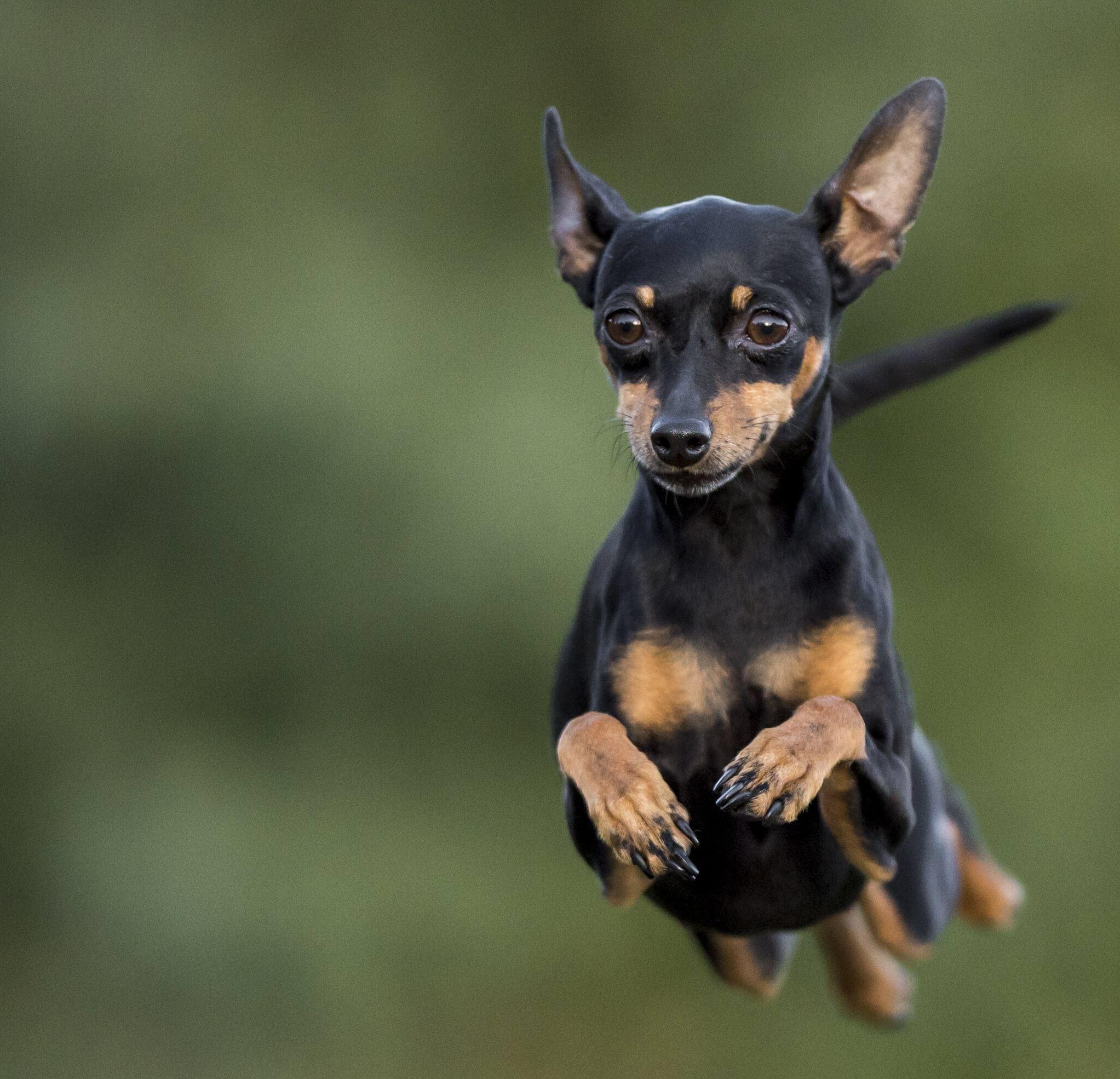 Ảnh chú chó Phốc đẹp nhất