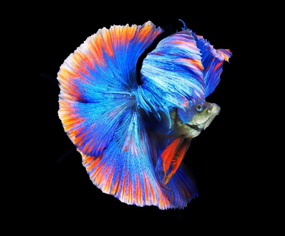 Ảnh đẹp của cá Chọi