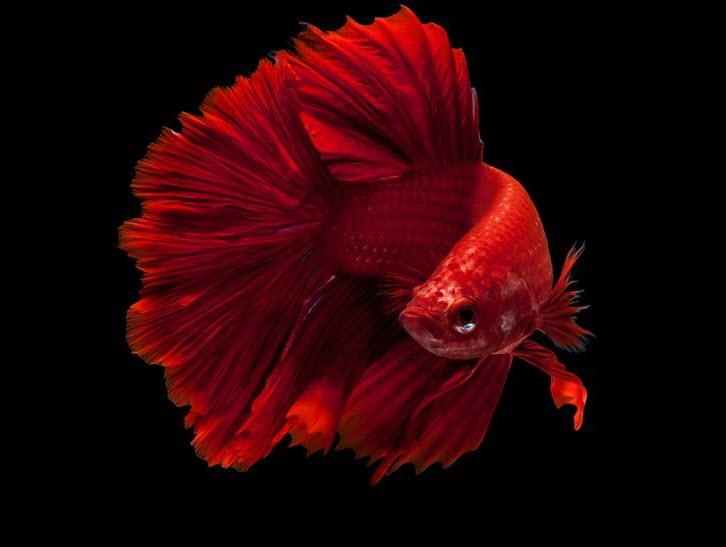 Ảnh đẹp nhất của cá Chọi đỏ
