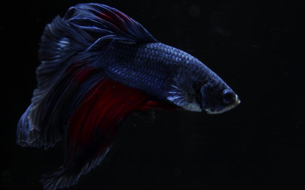 Bức ảnh đẹp nhất của cá Chọi