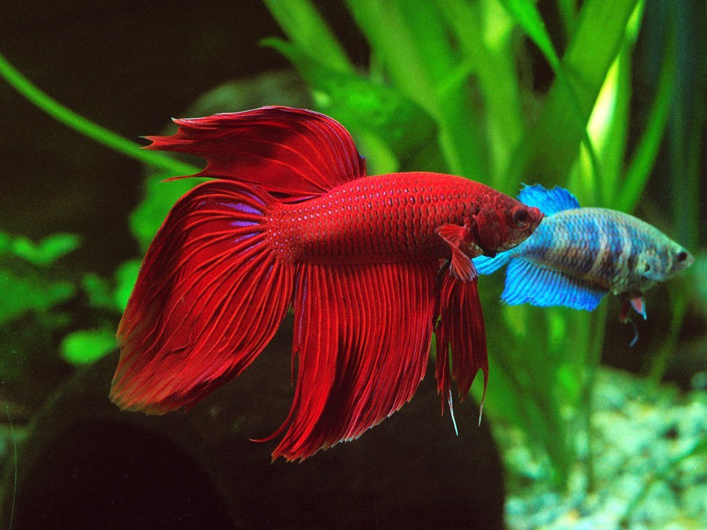 Cá betta cực đẹp
