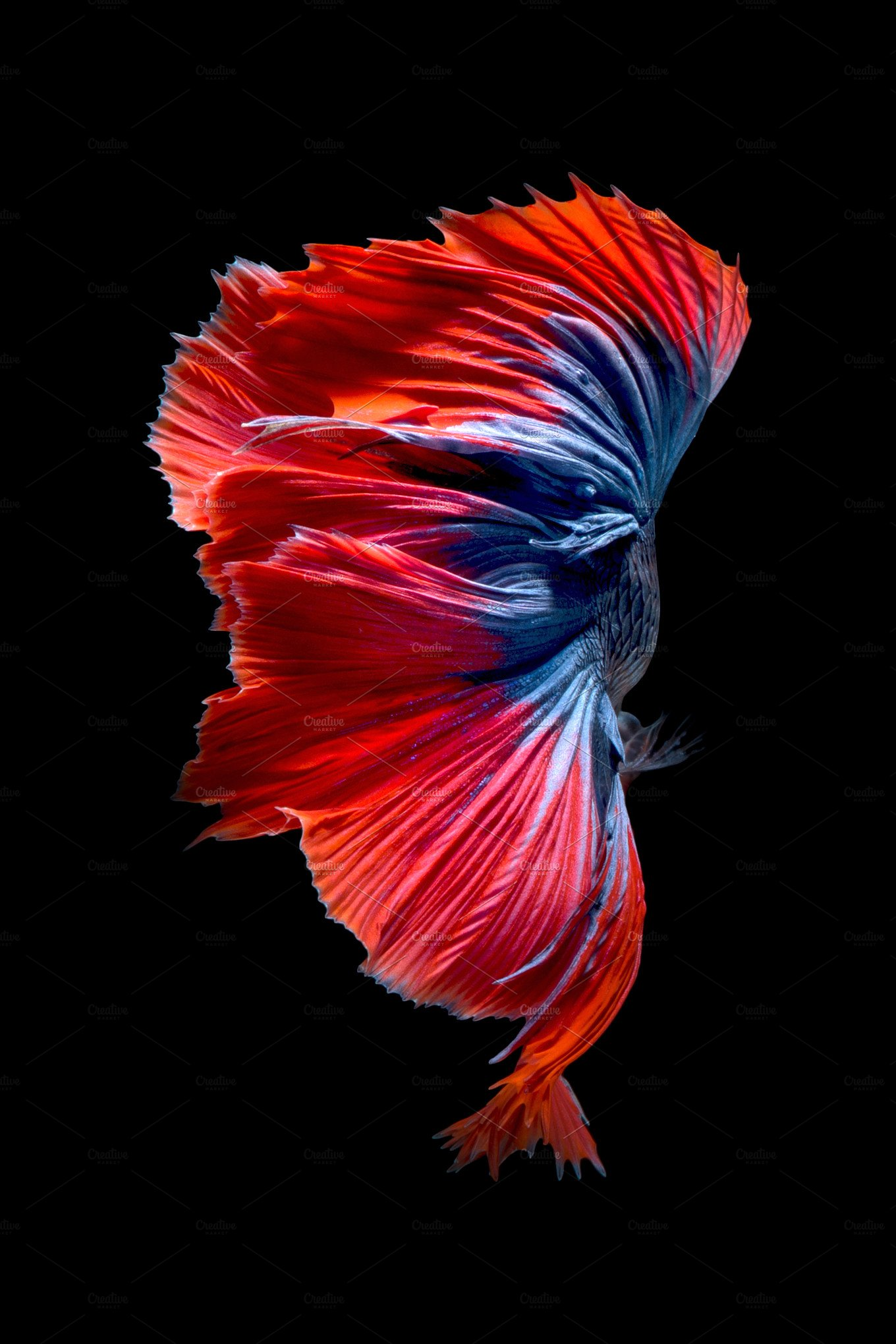 Cá chọi đẹp