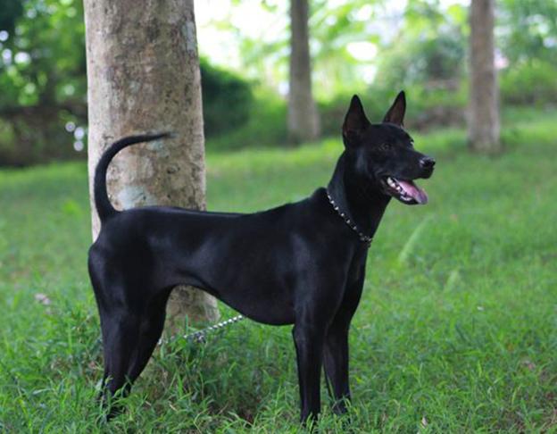 Chó đen