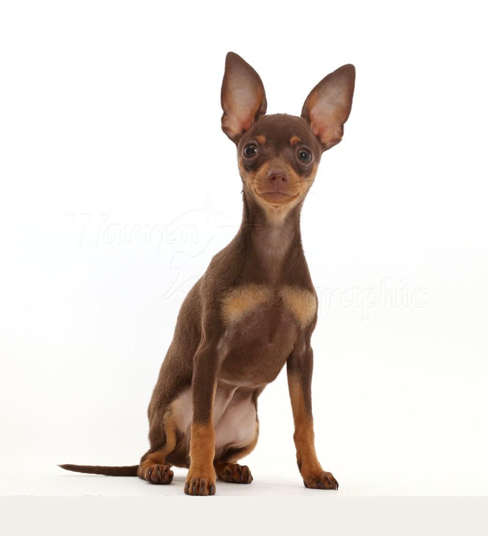 Chó fox mini