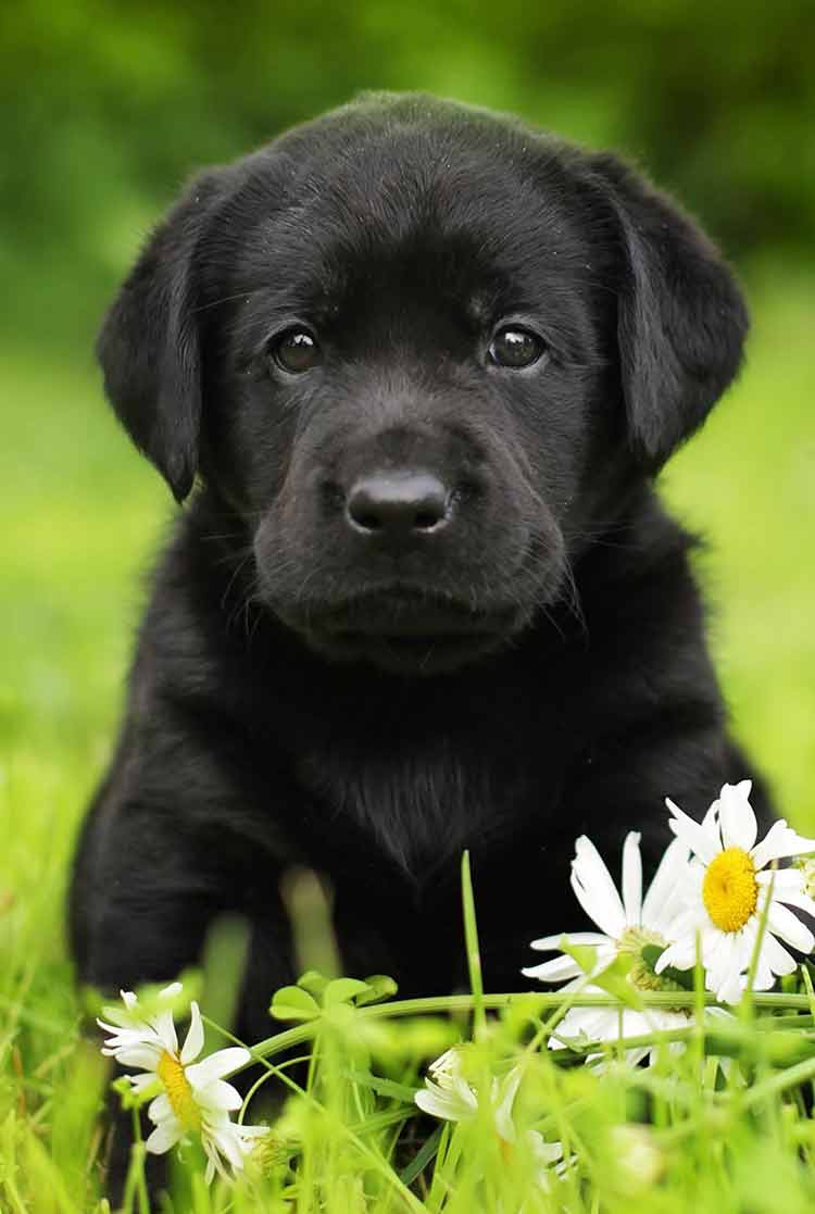 Chó mực