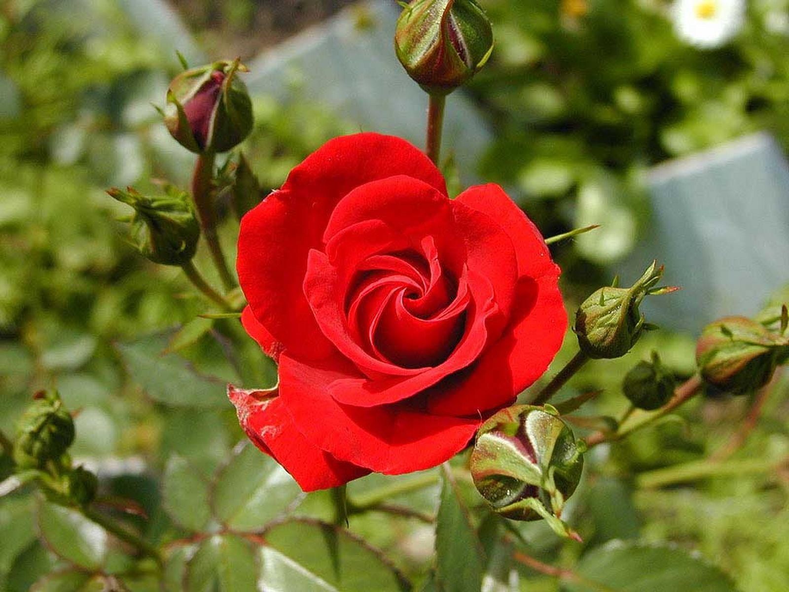 Hình ảnh bông hoa hồng đỏ khoe sắc trong vườn