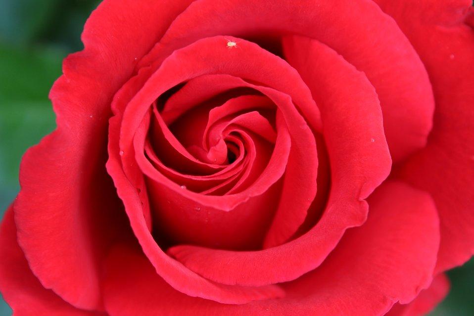 Hình ảnh bông hoa hồng đỏ khoe sắc