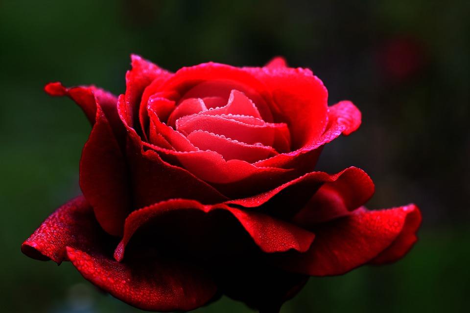 Hình ảnh bông hoa hồng đỏ nở đẹp