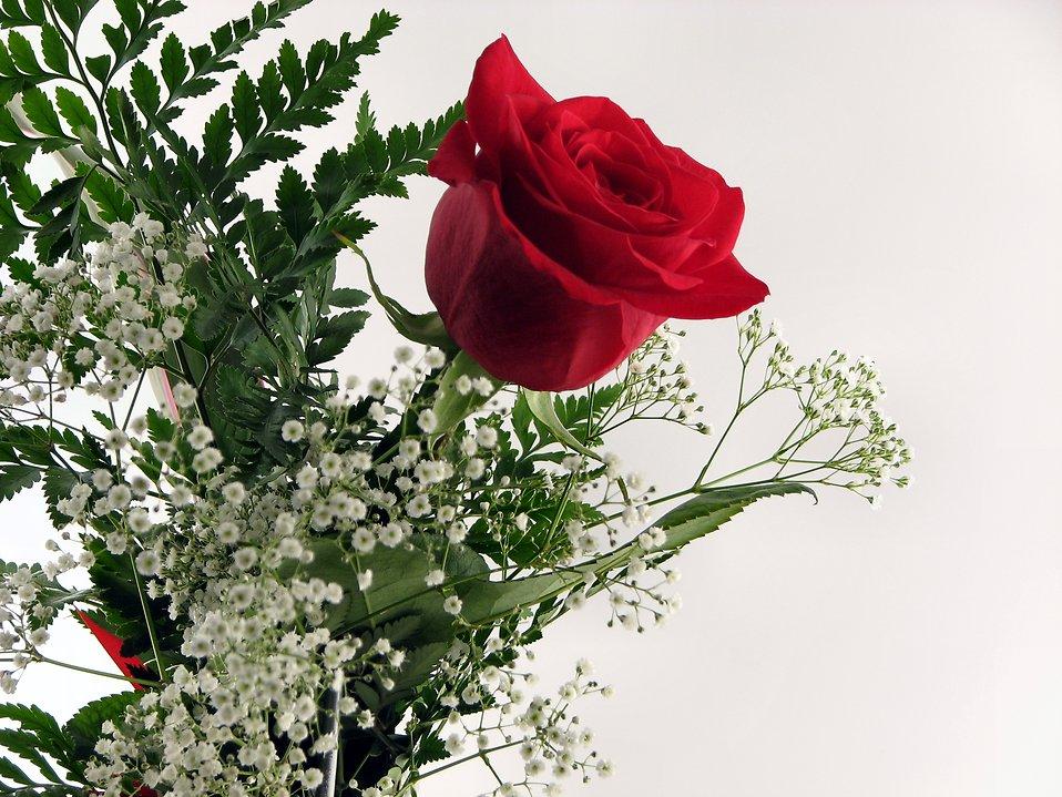 Hình ảnh bông hoa hồng đỏ tươi khoe sắc