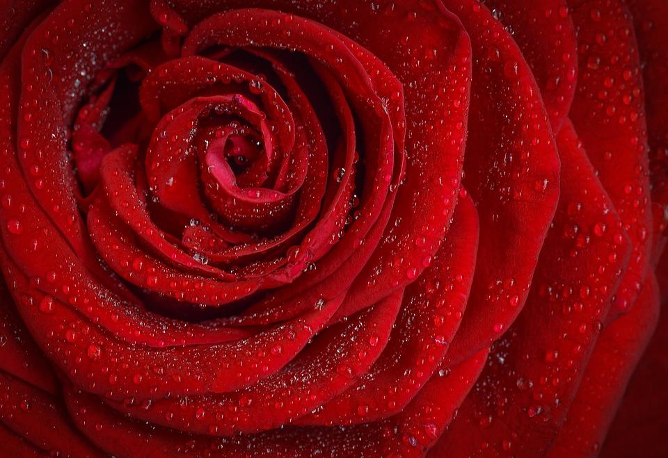 Hình ảnh bông hoa hồng rực rỡ đẹp nhất