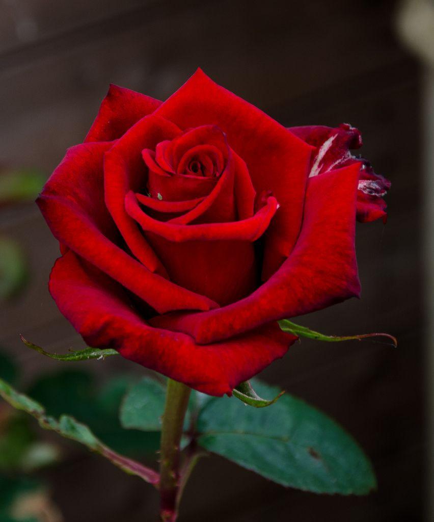Hình ảnh bông hồng đỏ tươi