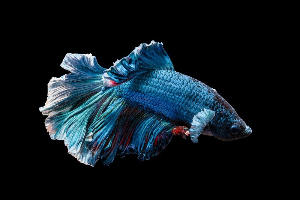Hình ảnh cá Chọi màu xanh đẹp nhất