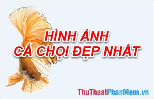 Hình ảnh cá Chọi - Tổng hợp hình ảnh cá Chọi đẹp nhất