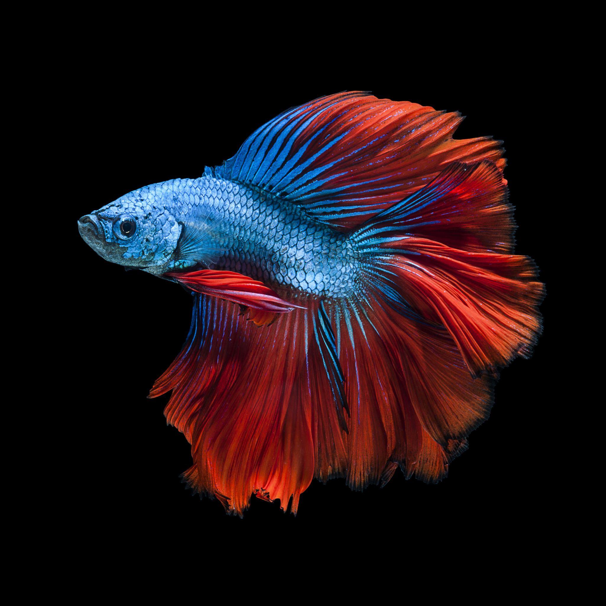 Hình ảnh cá xiêm đẹp nhất