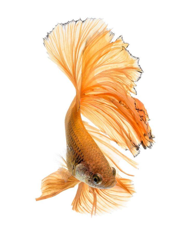 Hình ảnh cá xiêm đẹp
