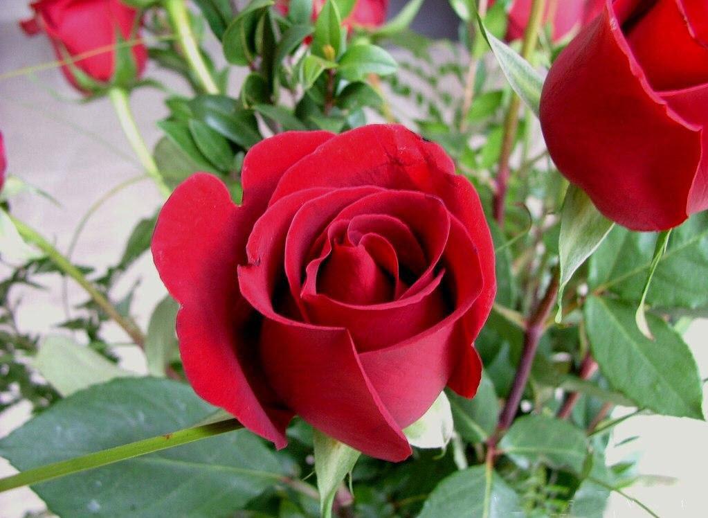 Hình ảnh các bông hoa hồng đẹp