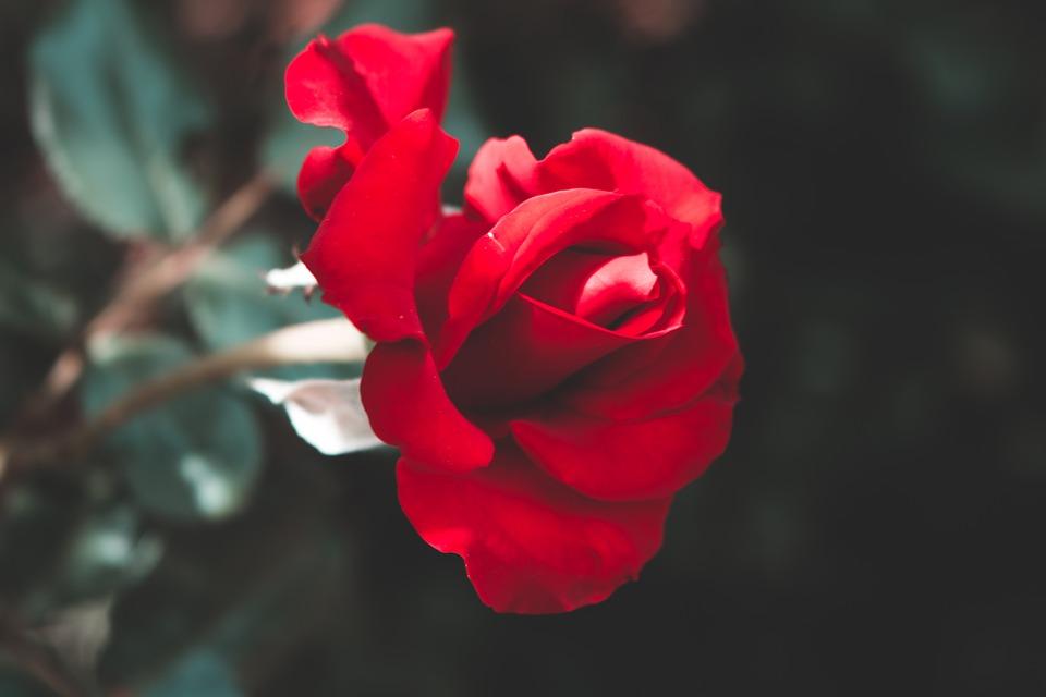Hình ảnh cành hoa hồng đỏ đẹp