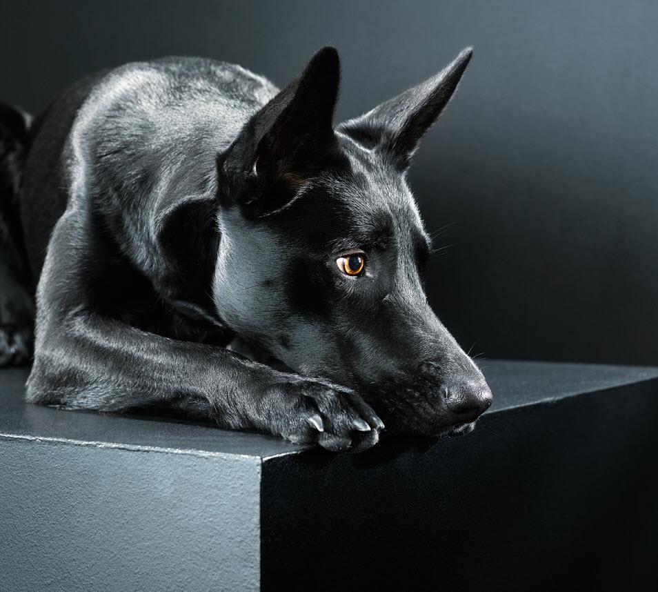 Hình ảnh chó đen đẹp