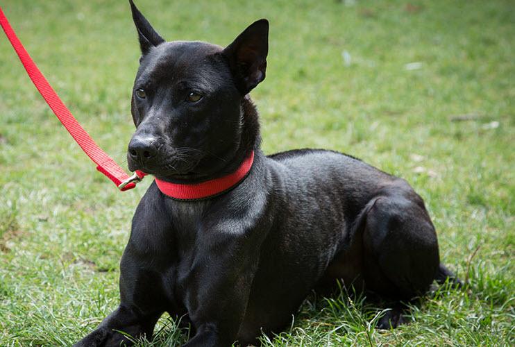 Hình ảnh chó đen tuyền đẹp