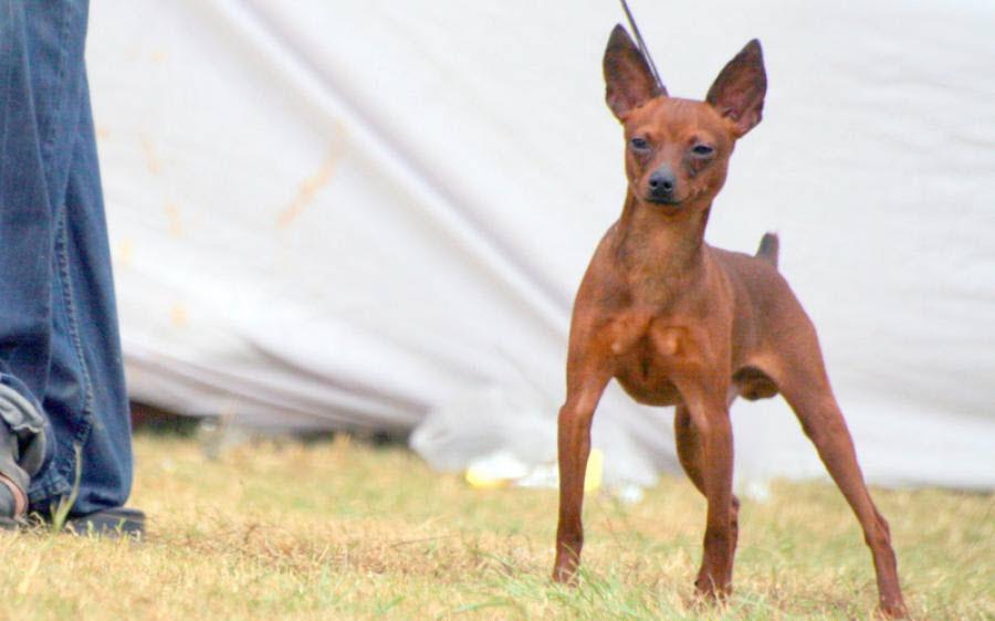 Hình ảnh chó fox đẹp