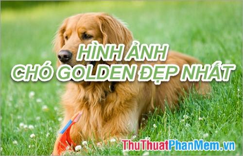Hình ảnh chó Golden - Tổng hợp hình ảnh chó Golden đẹp nhất