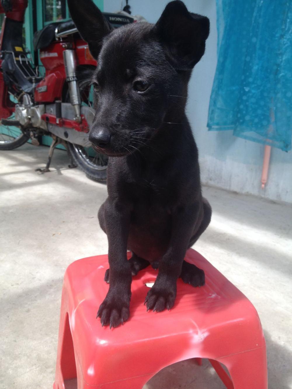 Hình ảnh chó mực con đẹp nhất