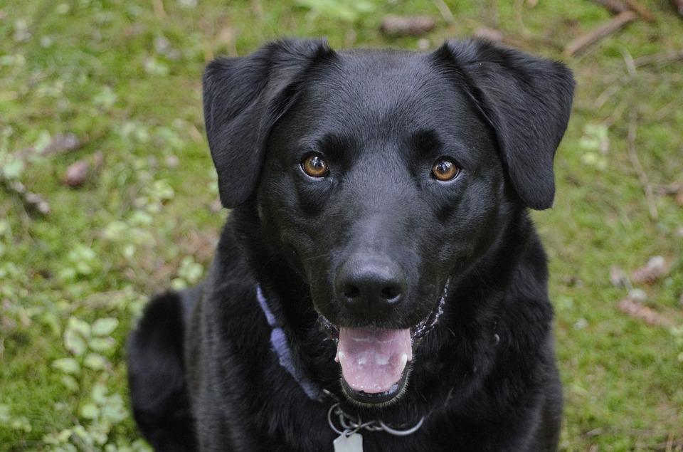 Hình ảnh chó mực đáng yêu