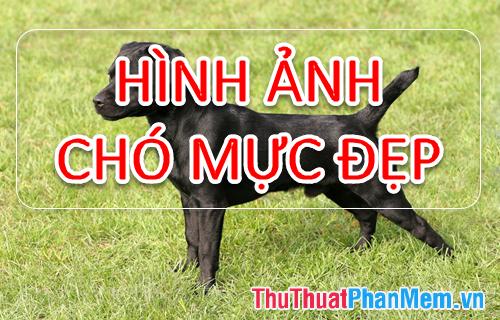 Hình ảnh chó Mực - Tổng hợp hình ảnh chó Mực đẹp nhất
