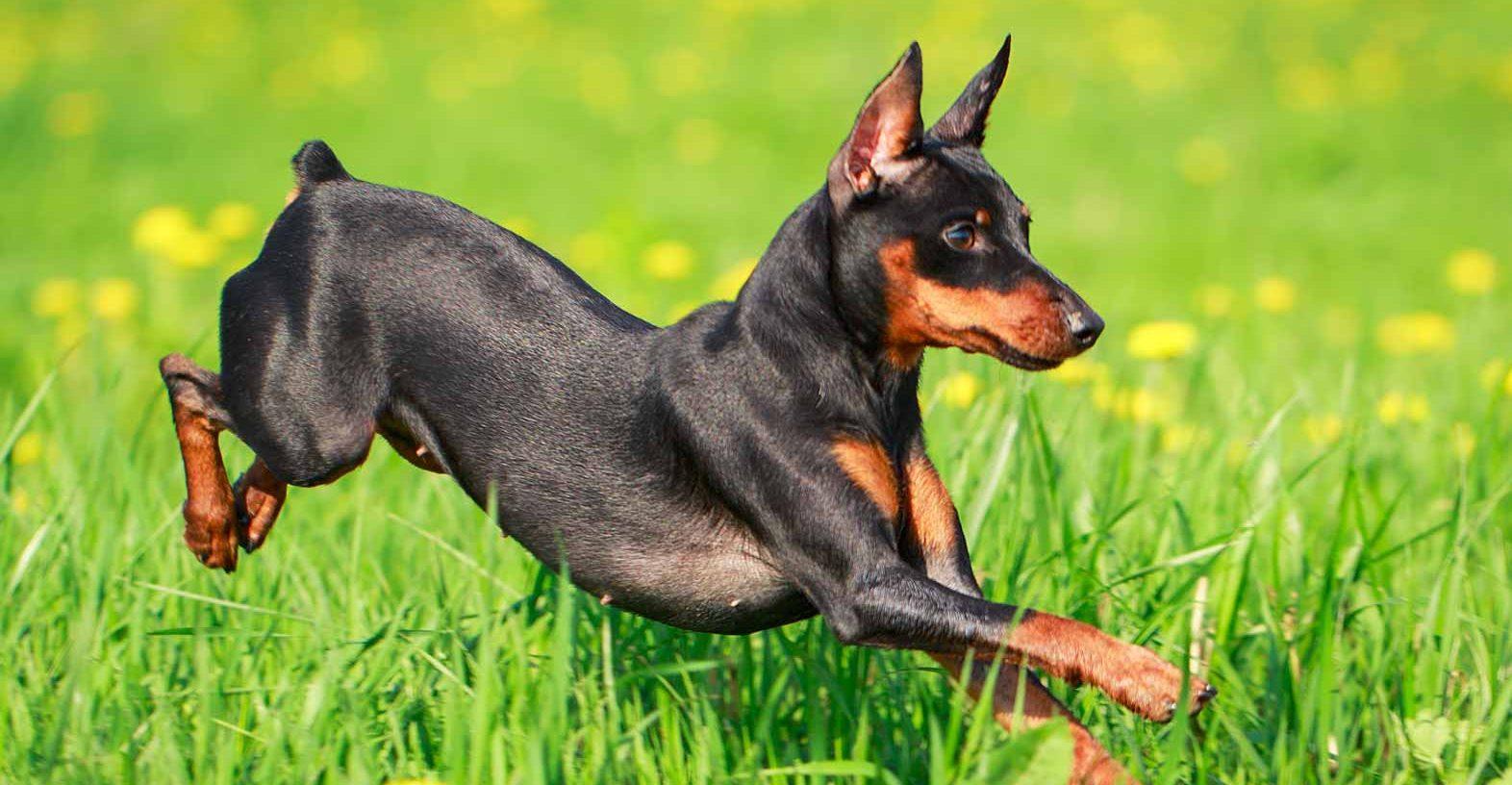 Hình ảnh chó Phốc cực đẹp