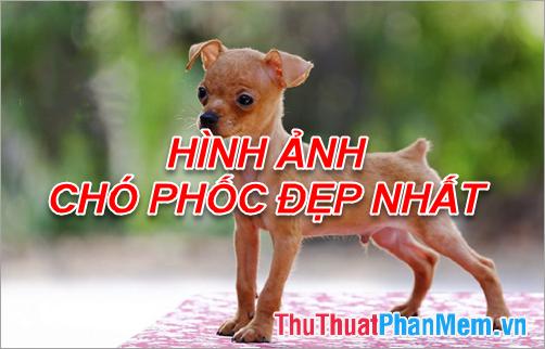 Hình ảnh chó Phốc - Tổng hợp hình ảnh chó Phốc đẹp nhất