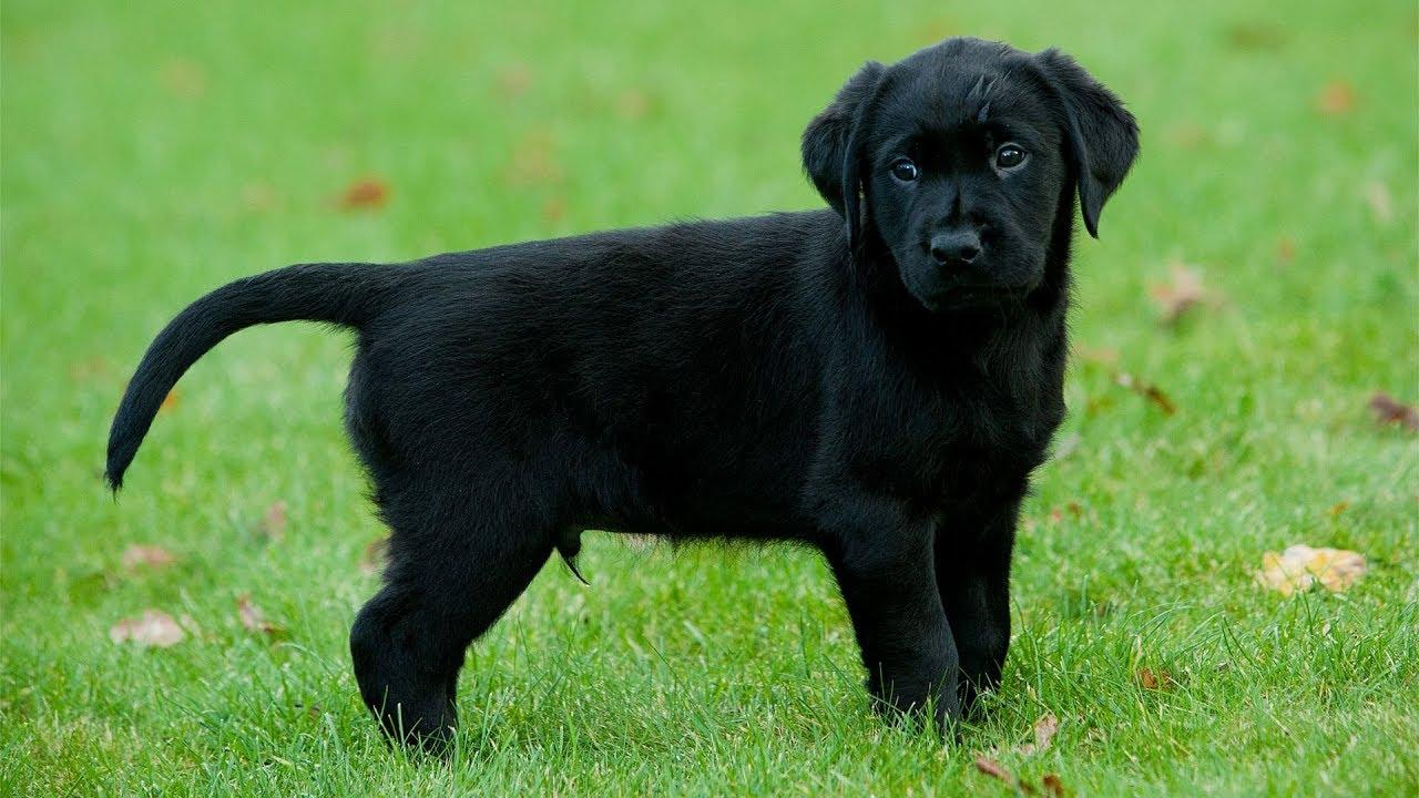 Hình ảnh chú chó đen đẹp