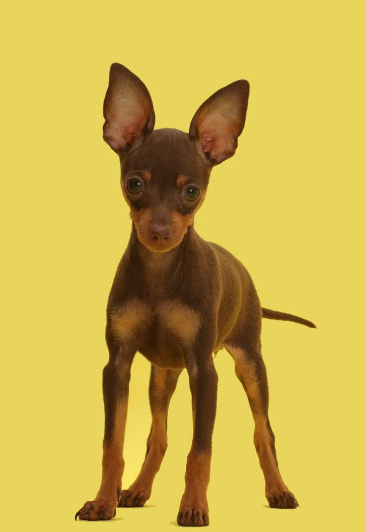 Hình ảnh chú chó Phốc đẹp