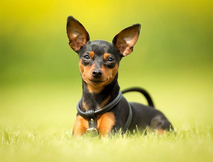 Hình ảnh chú chó Phốc