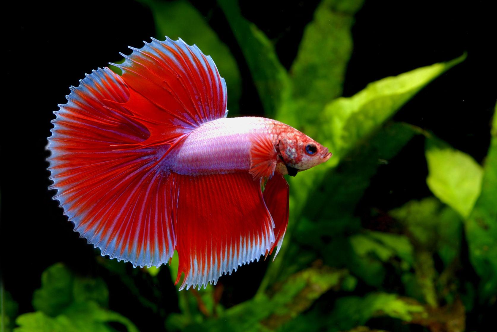 Hình ảnh con cá Betta đẹp nhất