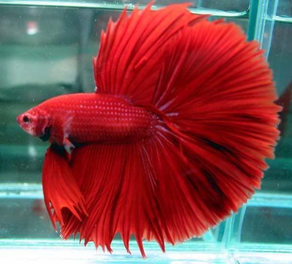 Hình ảnh con cá Chọi đỏ đẹp