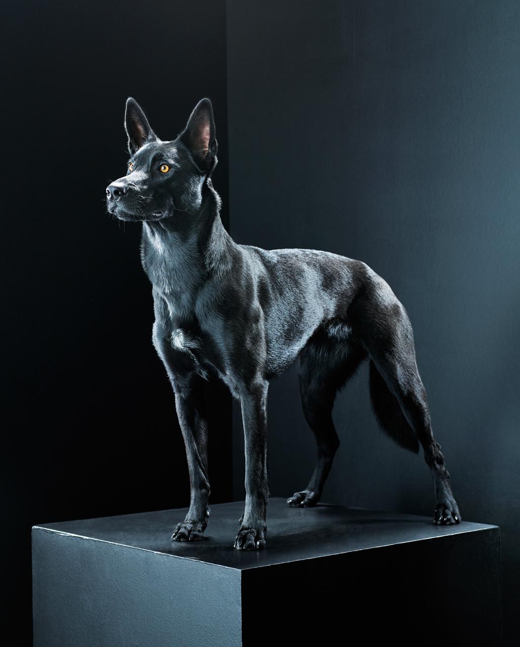 Hình ảnh con chó đen đẹp nhất