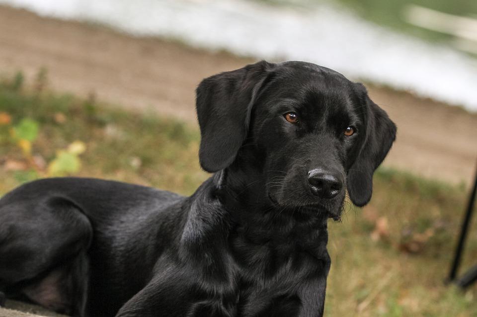 Hình ảnh con chó đen