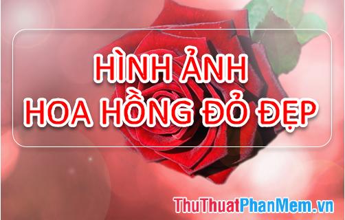 Hình ảnh hoa Hồng đỏ - Tổng hợp hình ảnh hoa Hồng đỏ đẹp nhất